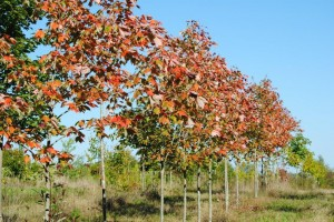 "Northwood Red Maples - Acer rubrum ""Northwood"""