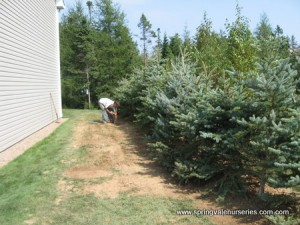 Colorado Spruce As a Border Planting