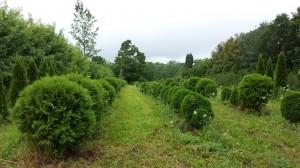 Many, Many Cedars!
