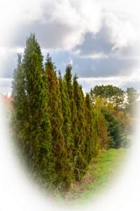 01-Pyramidal Cedar 8-10' G