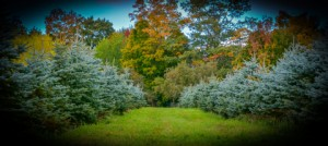 11-Colorado Blue Spruce Hedges G