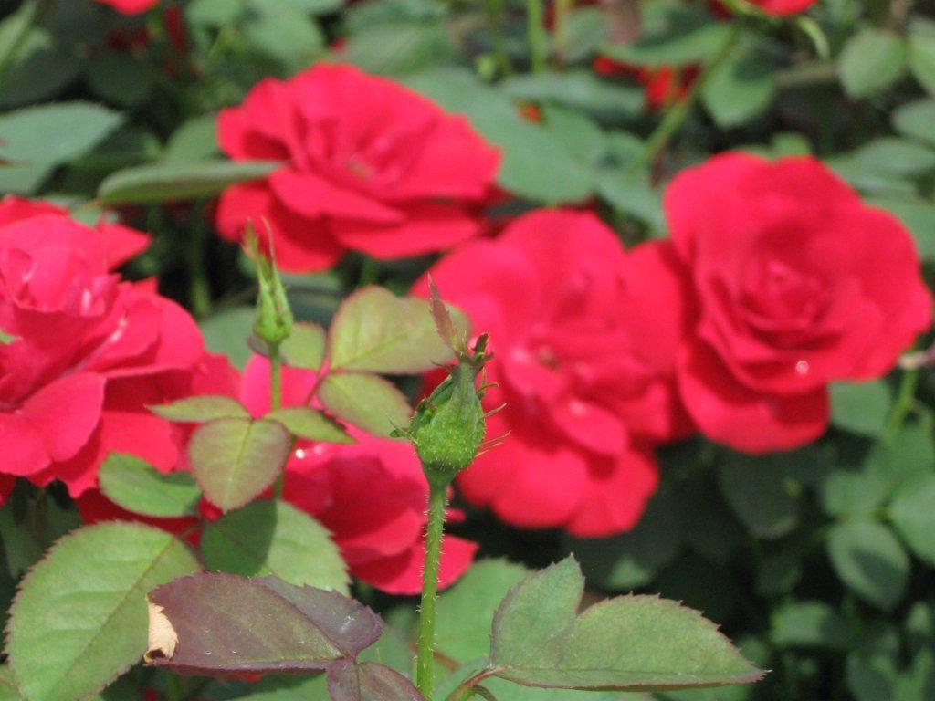 Ultramoderne Rosa H.C. Andersen – Springvale Nurseries WZ-17